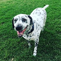Dalmatian Dog for adoption in Scottsdale, Arizona - Gina