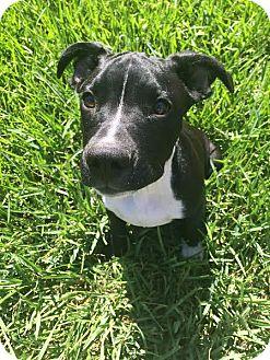 American Bulldog Mix Puppy for adoption in Jacksonville, Florida - Bruce Wayne (aka Batman)