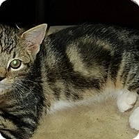 Domestic Shorthair Kitten for adoption in Lebanon, Pennsylvania - Tilly