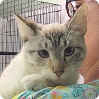 Colorpoint Shorthair Cat for adoption in Reeds Spring, Missouri - Precious