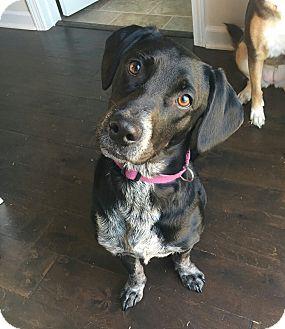 Australian Cattle Dog/Beagle Mix Dog for adoption in Smithfield, North Carolina - Rouge