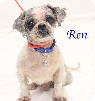Shih Tzu Mix Dog for adoption in Bradenton, Florida - Ren