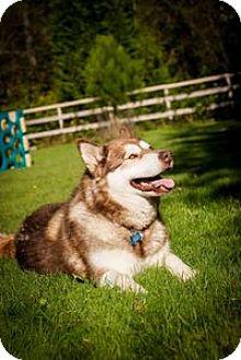 Alaskan Malamute Mix Dog for adoption in Seattle, Washington - KIMA