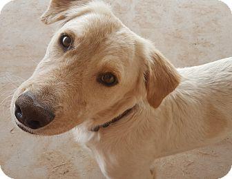 Labrador Retriever/Basset Hound Mix Dog for adoption in Las Cruces, New Mexico - Parker