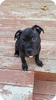 American Staffordshire Terrier Mix Puppy for adoption in Grand Rapids, Michigan - Hagrid
