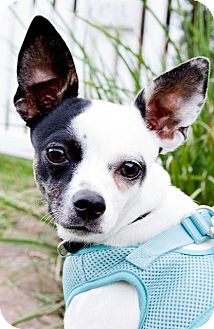 Chihuahua Mix Dog for adoption in Rockport, Texas - Lupita