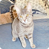 Domestic Shorthair Cat for adoption in Los Angeles, California - Peaches