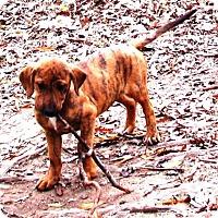 Adopt A Pet :: PEYTON - Williamsport, PA