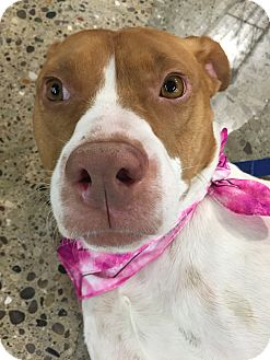 Brittany/American Pit Bull Terrier Mix Dog for adoption in Warren, Michigan - Molly