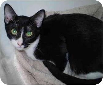 Domestic Shorthair Cat for adoption in San Ramon, California - Zeb