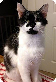Domestic Mediumhair Cat for adoption in Alexandria, Virginia - Delilah