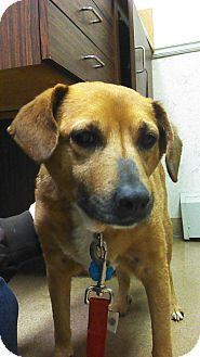Beagle/Shepherd (Unknown Type) Mix Dog for adoption in Olmsted Falls, Ohio - Ginger-COURTESY POST