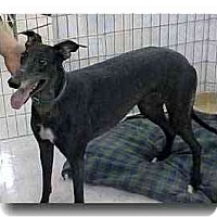 Adopt A Pet :: Merry Widow Kela - Roanoke, VA