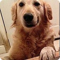 Adopt A Pet :: Merri - Cheshire, CT