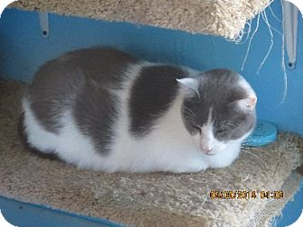 Domestic Shorthair Cat for adoption in Coos Bay, Oregon - Roxy