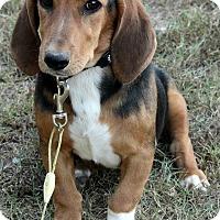 Adopt A Pet :: Isabella - Staunton, VA