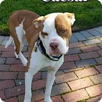 Adopt A Pet :: Caesar - Cary, IL