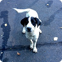 Adopt A Pet :: Mr. Darcy in CT - Manchester, CT