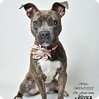 American Pit Bull Terrier Mix Dog for adoption in Marrero, Louisiana - Wren - In Foster Home
