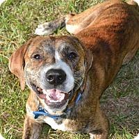 Adopt A Pet :: LOKI (LS KW) - Tampa, FL