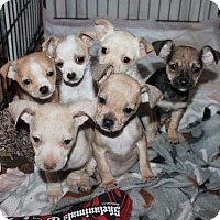 Adopt A Pet :: Puppies - Chihuahua Mix - Pembroke, GA
