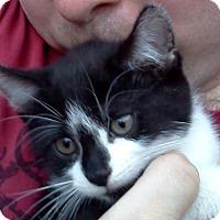 Adopt A Pet :: Patch Kitties: THEO&HUDINI'14 - New York, NY