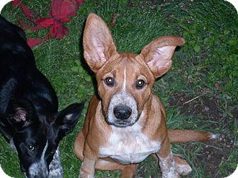 Australian Cattle Dog Mix Puppy for adoption in Austin, Texas - Billie