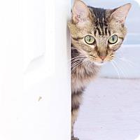 Adopt A Pet :: Sassy Sunshine (declawed) - Marietta, GA