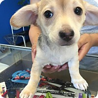 Adopt A Pet :: Darby - Claremont - Chino Hills, CA
