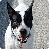 Border Collie/Hound (Unknown Type) Mix Dog for adoption in Long Beach, New York - Spot