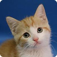 Adopt A Pet :: Bella - Overland Park, KS
