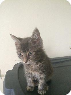 Domestic Shorthair Kitten for adoption in Clarkson, Kentucky - Posey