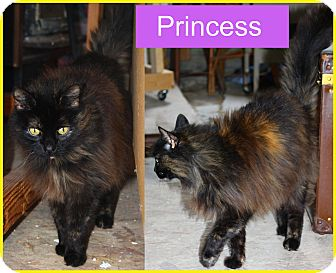 Domestic Longhair Cat for adoption in Duncan, British Columbia - Princess