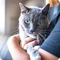 Domestic Shorthair Cat for adoption in St Helena, California - Bubba