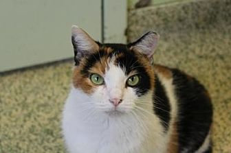 Domestic Shorthair Cat for adoption in Indianapolis, Indiana - Stevie Nicks