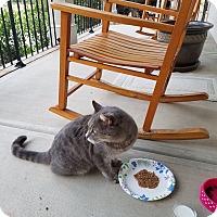 Adopt A Pet :: Grey kitty - Charlotte, NC