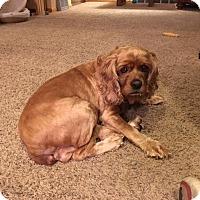 Adopt A Pet :: Samantha 7yr - Mentor, OH