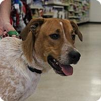 Adopt A Pet :: Cowboy - Claremore, OK