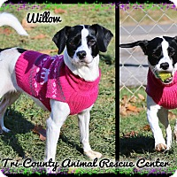 Adopt A Pet :: Willow - Shippenville, PA