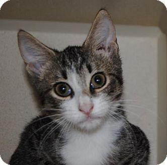 Domestic Shorthair Kitten for adoption in Ridgeland, South Carolina - Chris