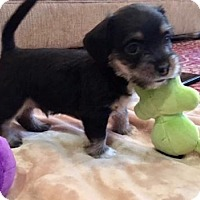 Adopt A Pet :: Foster Macie's pup in TX - Providence, RI