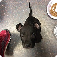 Adopt A Pet :: Rocky - Springfield, MO
