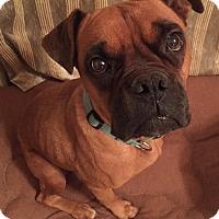 Adopt A Pet :: Miley - Bernardston, MA