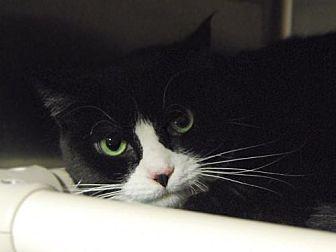 Domestic Shorthair Cat for adoption in Norwalk, Connecticut - Bella