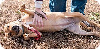 Shar Pei Mix Dog for adoption in Midlothian, Virginia - Scarlet