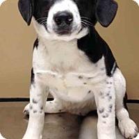 Adopt A Pet :: Paul - Oswego, IL