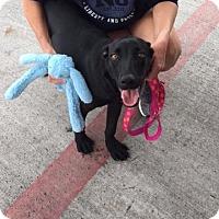 Adopt A Pet :: St. Nick - Austin, TX