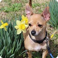 Adopt A Pet :: LITTLE LUCY SUE - Washington, DC