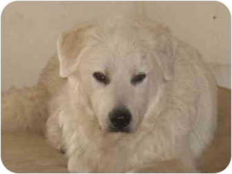 Great Pyrenees Dog for adoption in Ascutney, Vermont - Holly