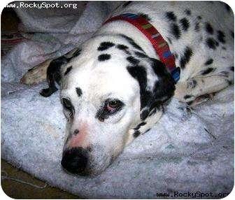 Dalmatian Dog for adoption in Newcastle, Oklahoma - Margo